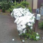  White Rhododendrons in Bloom