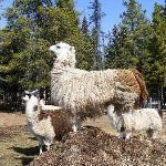  The llamas of Cheechako Cabins