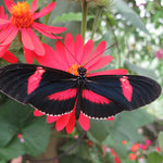 Heliconius butterfly feeding