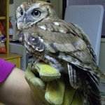 holding the screech owl