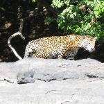 A Jaguar!! Very rare.