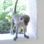 Our little friend the Green Monkey