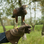 Coco The Harris Hawk