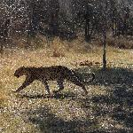 Incredible leopard sighting.  Highlight of game drives.