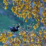Kowhai and Tui Bird