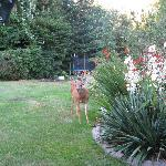  Deer in the backyard/view from gazebo