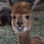 Cinnamon - the alpaca
