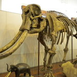 not so ancient elephant skeleton
