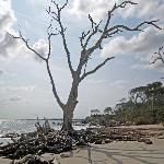 Dead tree standing on the beach