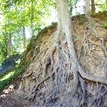  Interesting tree root system