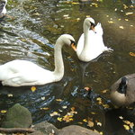 Swans at the zoo
