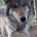‪Colorado Wolf and Wildlife Center‬