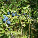  Sloe bush