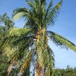 Coconut palm is part of the large grounds.