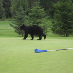 Black bear on the 8t;h green