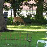  Deer are regular visitors