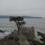 lone cypress