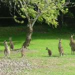 The Kangaroos on the resort