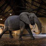 Wonky Tusk the Elephant in the Mfuwe Lodge reception