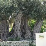 600 year old olive tree by bar/pool area
