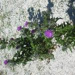 White sands and thistle
