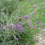  bees enjoying the laevdar