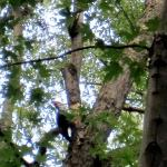 Pileated Woodpecker on river