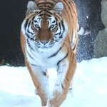 Katinka, Amur Tigress