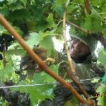 Picking grapes during harvest