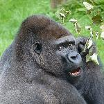 Badongo, the alpha male gorilla
