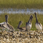 Pelicans in the low country