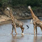 Giraffes take a walk on the wildside