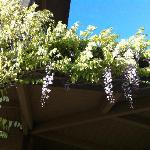  Wisteria on the grounds