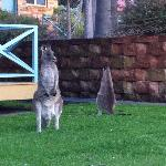 if you wake up early, there's a chance for you to see some kangaroos on the village's lawn