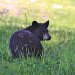 Whistler Blackcomb -Bear Viewing & Ecology Tours- Day Tours