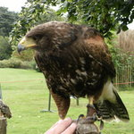 Russ Tipper Falconry