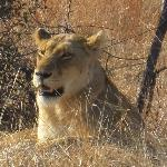 A lioness in Kruger early one morning