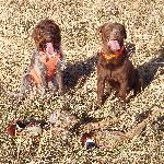 Best pheasant dogs in the world