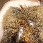 2 days after staying here. Some of my cat's flea bites and hair loss.