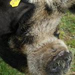One of the kuni kuni pigs