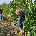 Luciano during the Vendemmia (grape harvest)