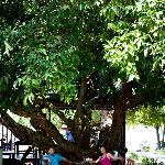 my parents enjoy sitting under this big tree, very relaxing