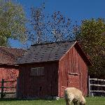 Sheep grazing near the barn