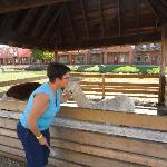 Getting kisses from an alpaca
