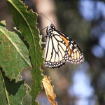 Monarch Butterfly Grove