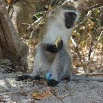 Male monkey enjoying pineapple rind