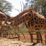 Giraffe Centre