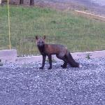 The resident fox, ( one of 3) we saw him morning and night