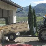 Harvesting Sangiovese Grapes