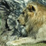 This is one of the two male lions. There are five lions in total.  Two brothers and three liones